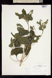 Image of Melanthera nivea
