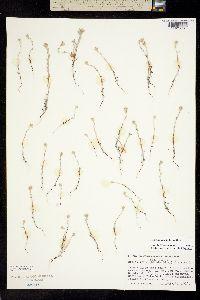 Image of Micropus amphibolus
