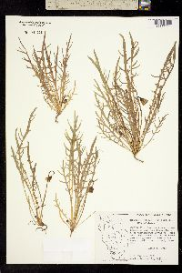 Image of Microseris douglasii