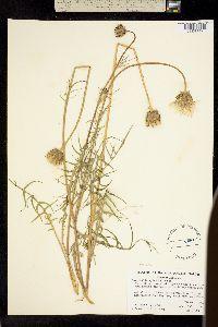 Image of Microseris sylvatica