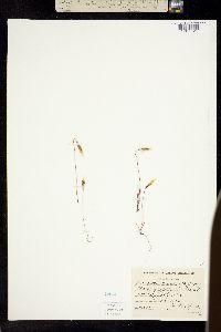 Microseris acuminata image
