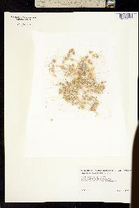 Monoptilon bellidiforme image