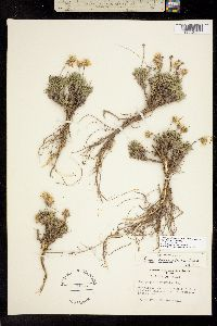 Image of Nestotus stenophyllus