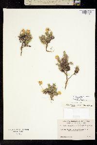 Image of Nestotus macleanii