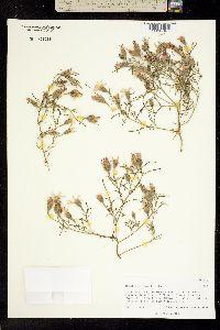 Image of Nicolletia edwardsii