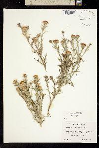 Image of Nicolletia occidentalis