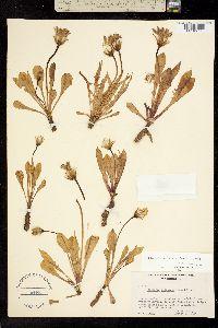 Image of Nothocalais alpestris