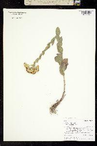 Oligoneuron rigidum image
