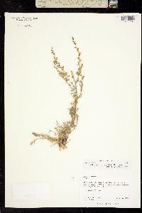 Image of Oligosporus campestris