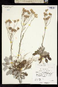 Image of Packera antennariifolia