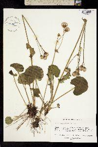 Image of Packera cardamine