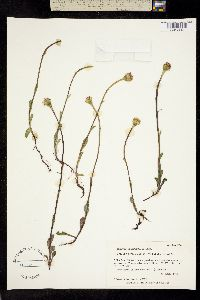 Packera cymbalaria image