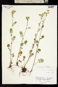 Packera sanguisorboides image