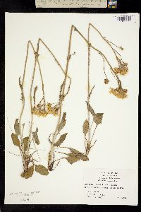 Image of Packera tomentosa