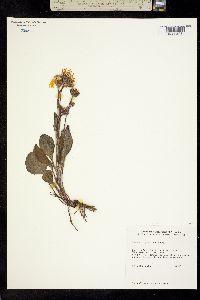Image of Packera greenei