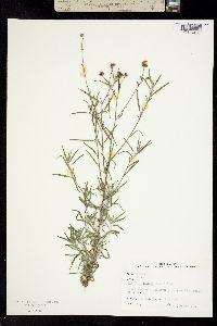 Palafoxia callosa image