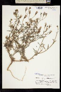 Palafoxia linearis image
