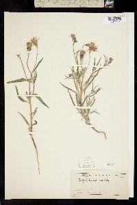 Image of Palafoxia linearis