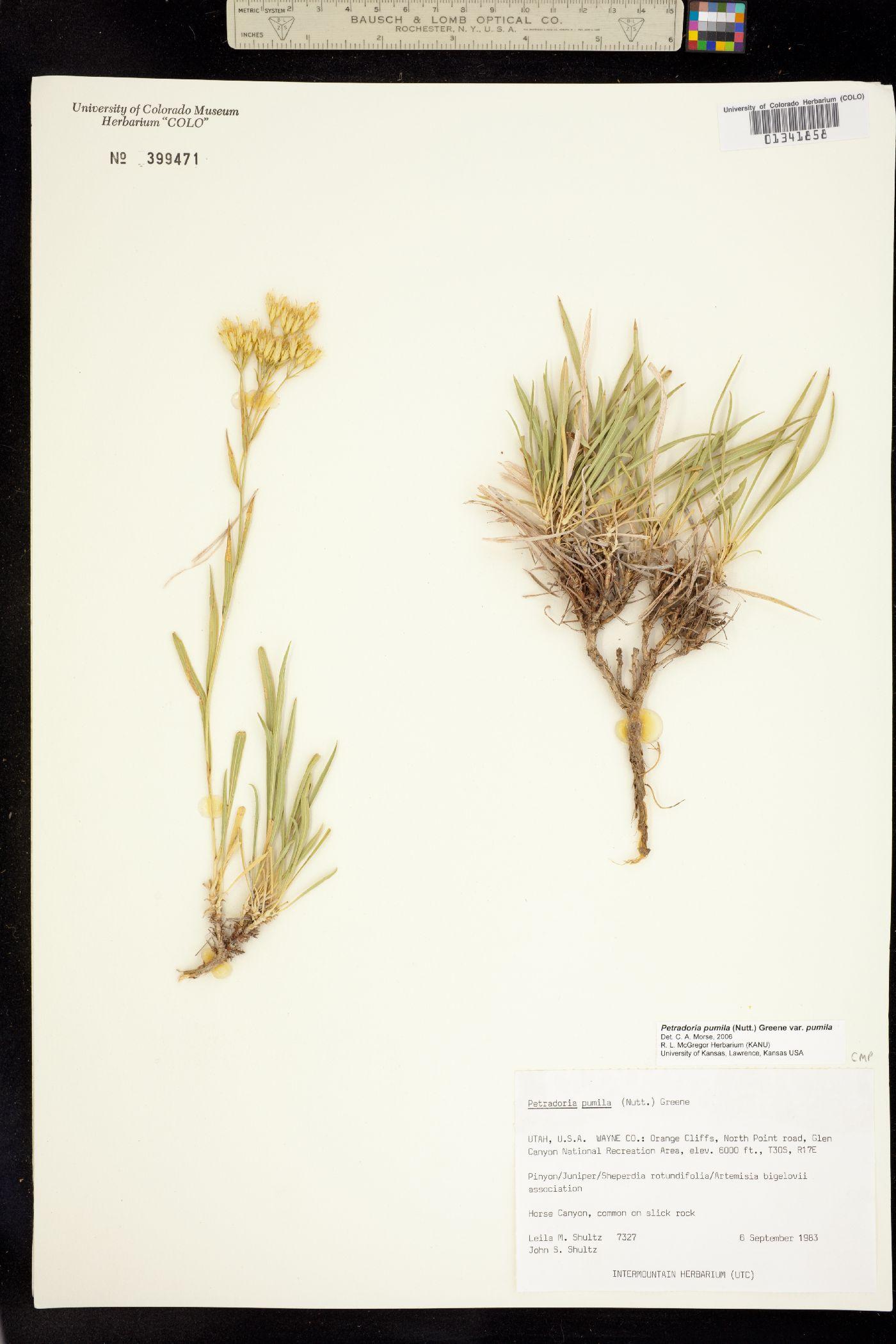 Petradoria pumila ssp. pumila image