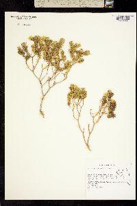 Peucephyllum schottii image