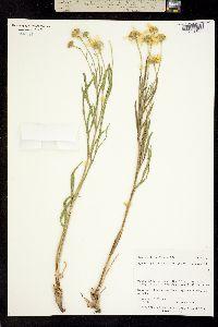 Picradenia helenioides image