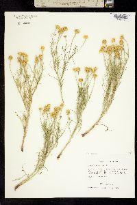 Picradenia odorata image