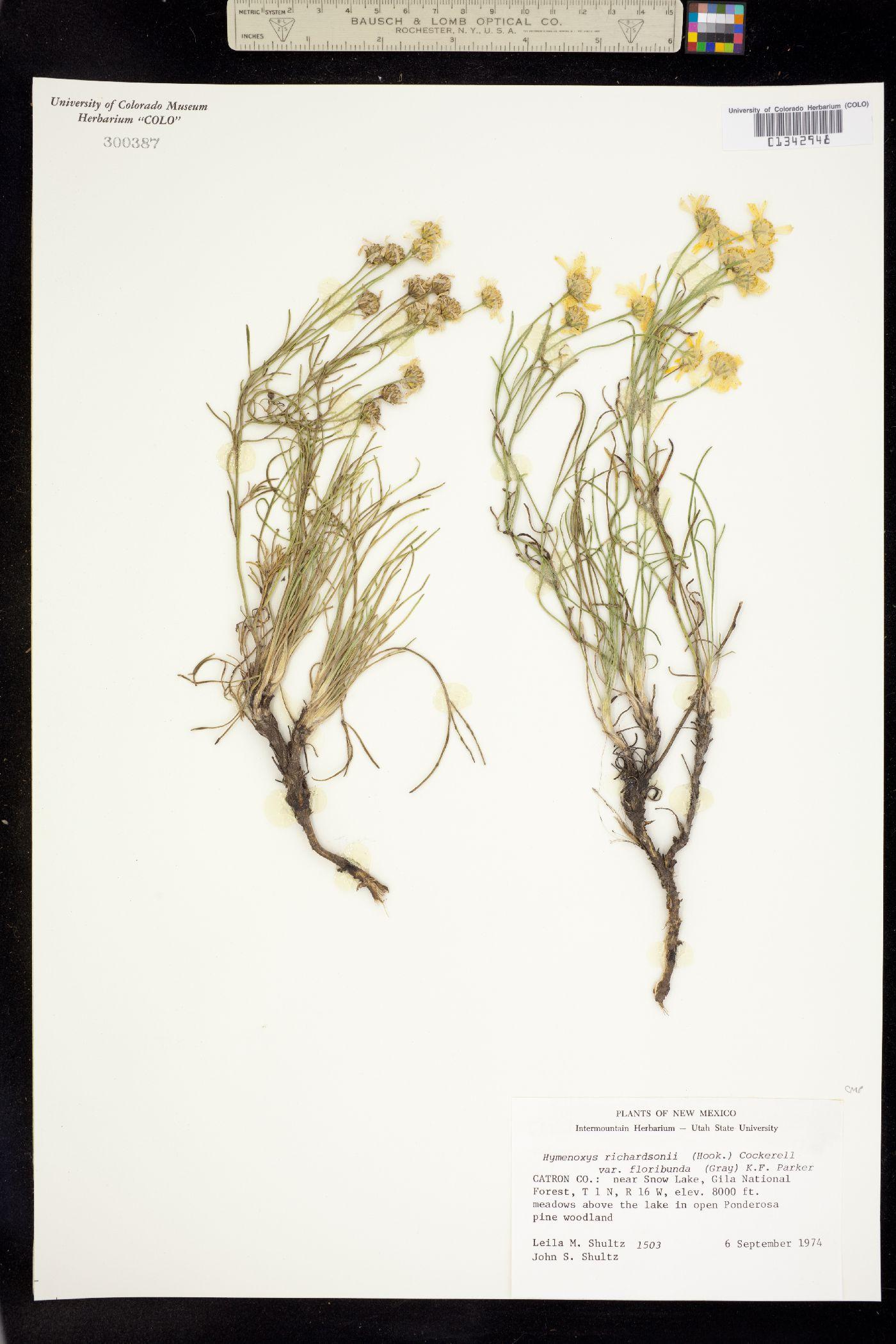 Picradenia richardsonii var. floribunda image