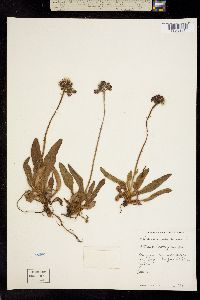 Pilosella aurantiaca image