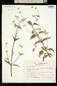 Piqueria trinervia image
