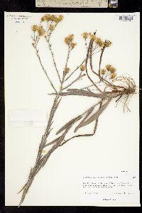 Pityopsis graminifolia image