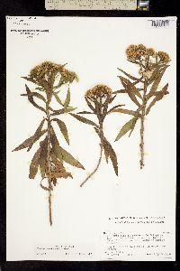Image of Pluchea salicifolia