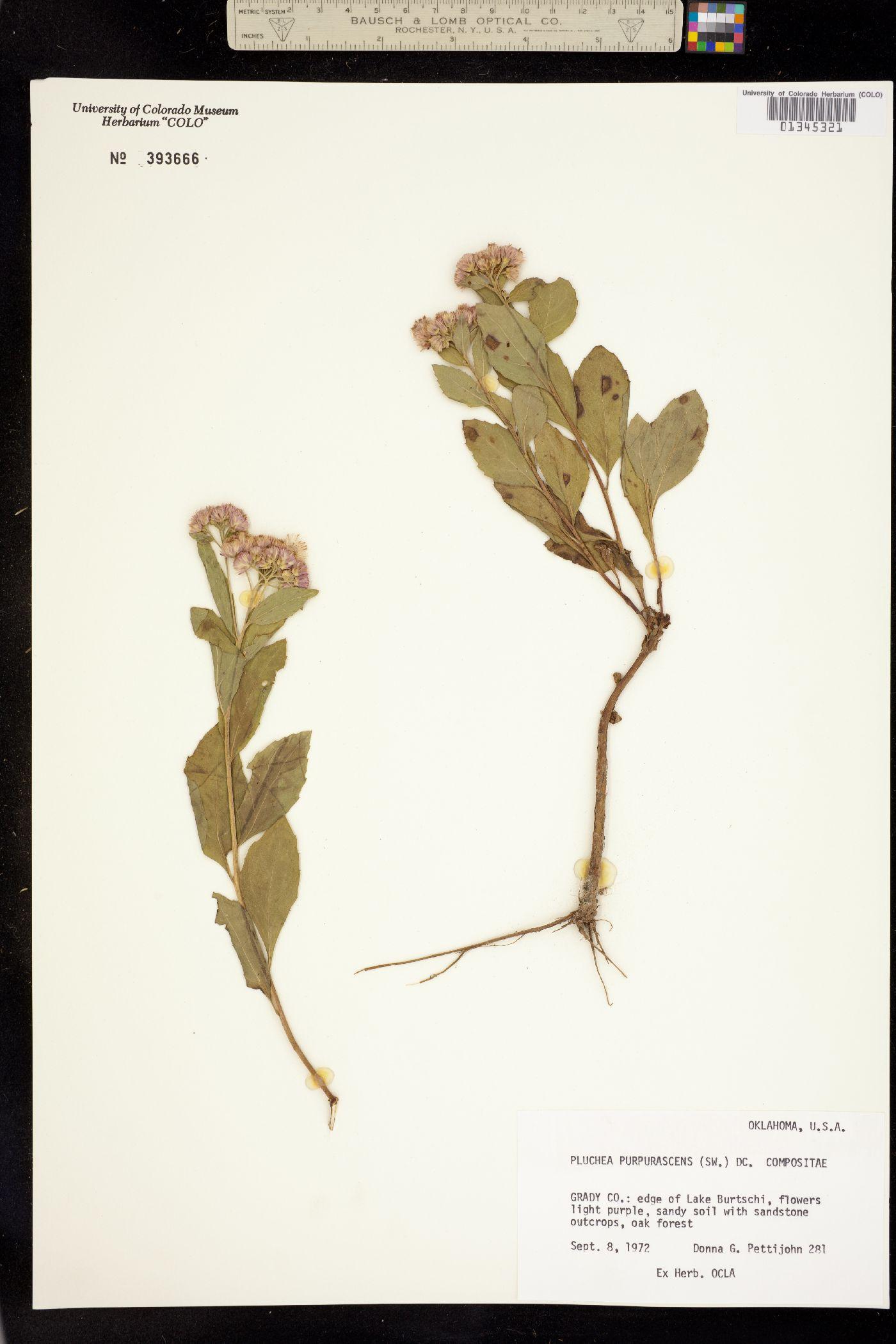Pluchea purpurascens image