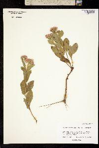 Image of Pluchea purpurascens