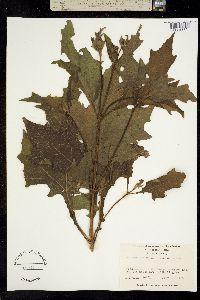 Smallanthus uvedalia image