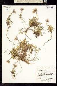 Erigeron lanatus image