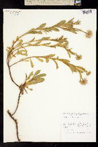 Image of Erigeron glaucus