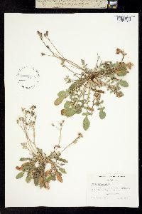 Image of Crepis bursifolia