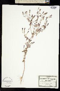 Porophyllum calcicola image