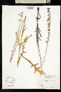 Image of Prenanthes autumnalis