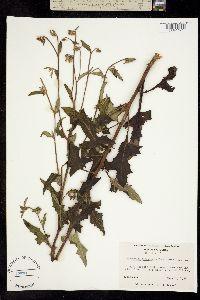Image of Prenanthes serpentaria
