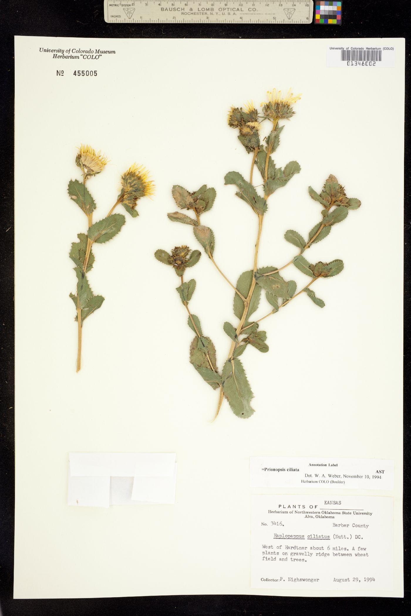 Prionopsis ciliata image