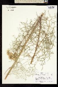 Psacalium decompositum image