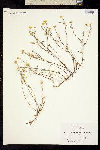 Pseudobahia heermannii image