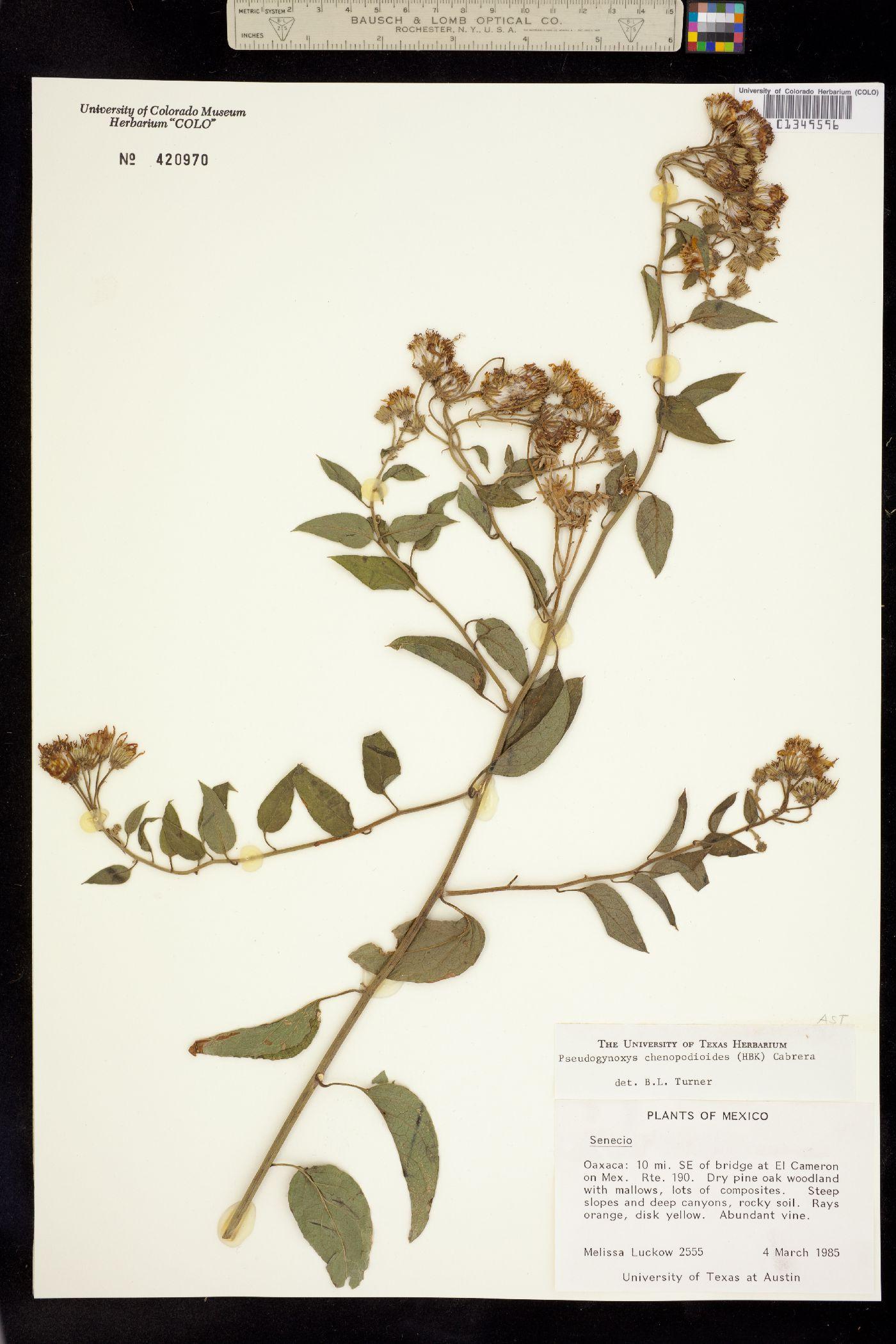 Pseudogynoxys chenopodioides image