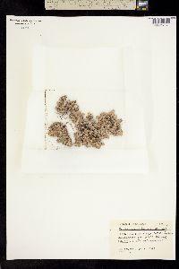 Image of Psilocarphus brevissimus