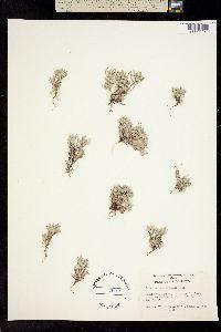 Psilocarphus tenellus image