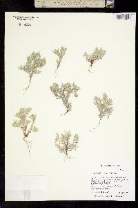 Image of Psilocarphus elatior