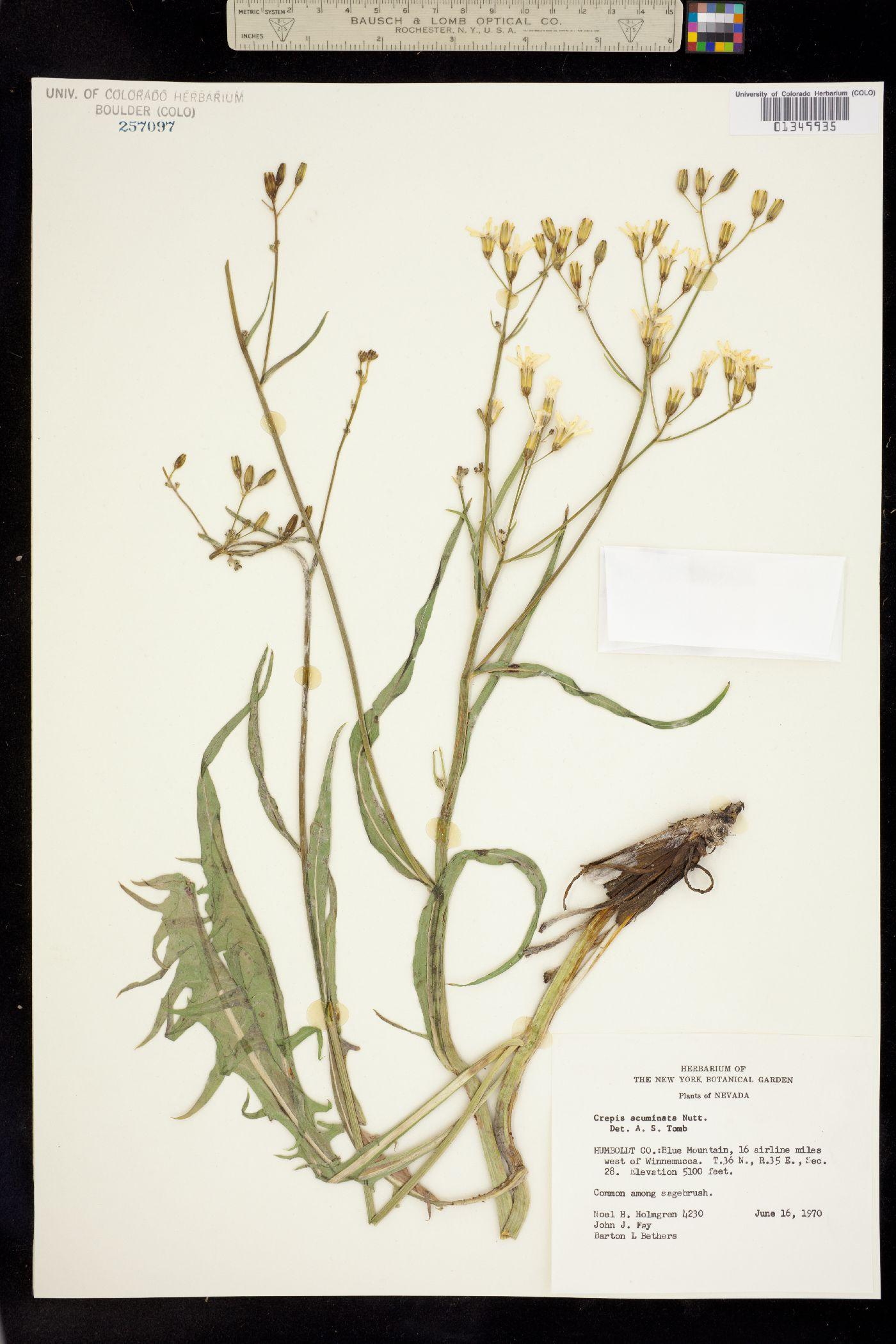 Psilochenia acuminata image