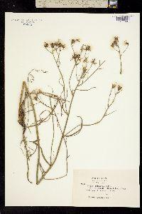 Psilochenia atribarba image