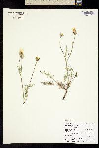 Psilochenia modocensis image